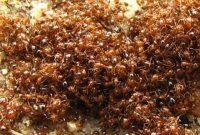 Bahan Alami Membasmi Semut