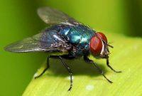 Cara Ampuh Mengusir Lalat di Rumah